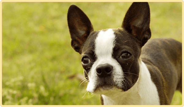 Boston Terrier Dog - Animal Communication