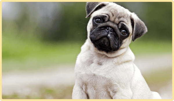 Pug Dog - Animal Communication
